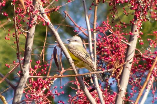 bird couchskingbird tularecounty