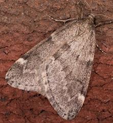 Fall Cankerworm Moth