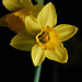 Miniature daffodils #3 by Lord V