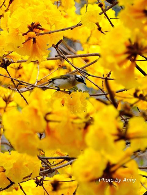 黃風鈴木24