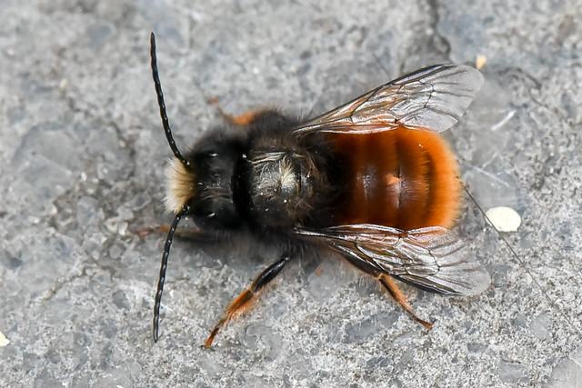 Osmia cornuta  - Osmie cornue – Mason bee