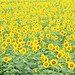 sunflower field in cloudy day. by cate♪