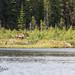 Le Caribou Forestier / Woodland Caribou by Eric Bégin Passion Photo