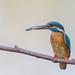 Eisvogel (Alcedo atthis) by Matthias.Kahrs