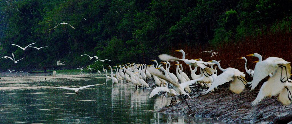 Great Egret (Ardea alba)_156