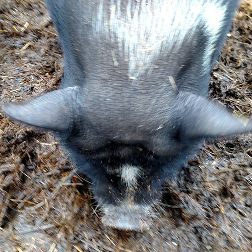 The head of a pig, obviously quite close to the camera. She is mostly black with a white stripe on the left side of her neck and another right between her eyes. Since this is the alt text, we'll pretend the picture isn't a little blurry.