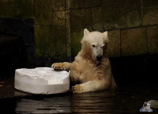 Eisbär Fiete im Zoo Rostock 19-09.2015 Teil 3  08