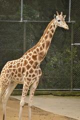 Giraffa camelopardalis DT [NZ Auckland Zoo] (9)
