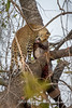 Mother and daughter (not visible, on the ground near the tree) leopard killed an Impala a few days ago and hide it in a tree near the riverbanks of the Luangwa River, South Luangwa National Park, Zambia by Ulrich Münstermann