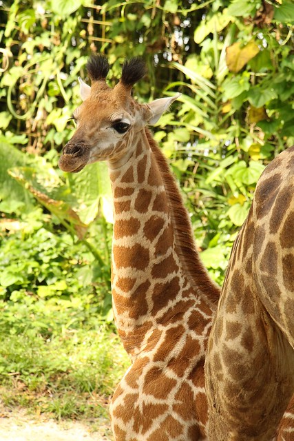 SZ Image 3_Giraffe calf_WRS