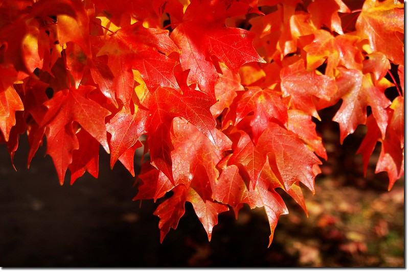 Sugar maple leaves (8)