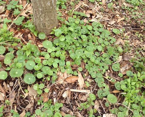 Dollarweed Leaves