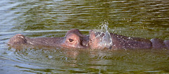 Hippo (Hippopotamus amphibius) wriggling its ears ...