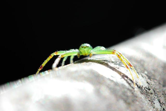 Crab Spider (Diaea evanida)