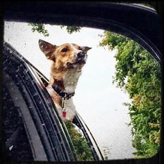 Drive on Monsieur! #tothedumpwego #dogstagram #dogsofinstagram #puppylove #rescuepup #DailyPhoto #project365