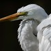 White Egret Portrait by Andre @new begining