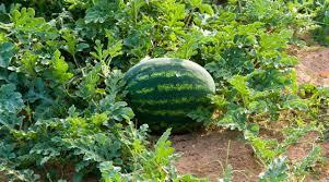 imagesNN5DT13H Un melon d'eau