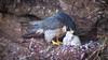 Peregrine Falcon by DBF Chicago