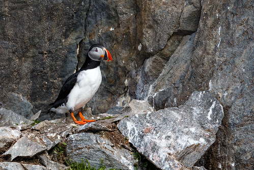 Atlantic Puffin (Lunnefågel)