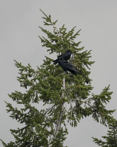 Ravens, The Lodge, 3rd September 2015