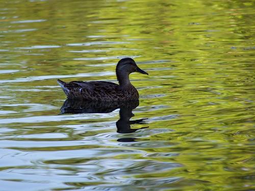 duck kentucky lakecumberland