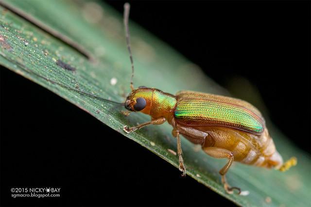 Leaf beetle (Megascelis sp.) - DSC_8604