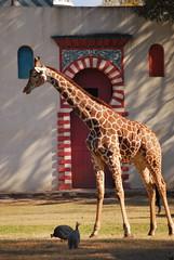 Giraffa camelopardalis reticulata DT [AR Zoo BBAA] (2)