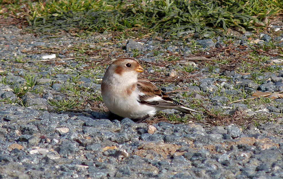 Snow Bunting FLC 11Oct15 b