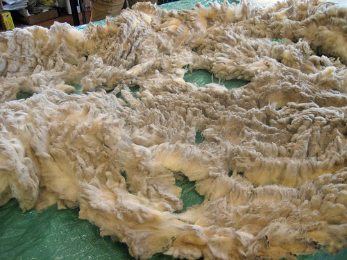 Olde English Babydoll Southdown skirted raw wool fleece Laurie's Little Lambs
