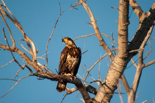 november canada bird geotagged pentax wildlife baldeagle saskatchewan 2015 assiniboia k20d pentaxk20d gmpentaxfan