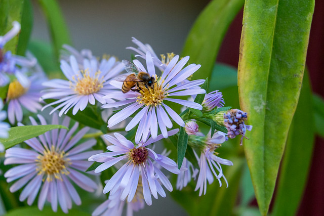A Honeybee on Symphyotrichum Novae-Angliae (New England Aster / Michaelmas Daisy)