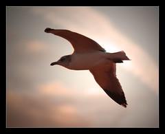 Gull Wing II