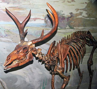 Navahoceros fricki (fossil cave deer) (Pleistocene; Guadalupe Mountains, New Mexico, USA) 1