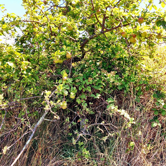 Feral apple tree at Copper Alley Bay