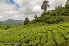 Beautiful landscapes of Cameron Highlands - tea and flower capital of Malaysia                  AD4A4361s