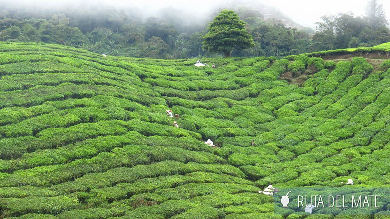 Cameron Highlands Malasia (4)