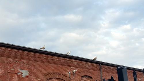 3 Wise Gulls - 2015-08-15_08-39-03