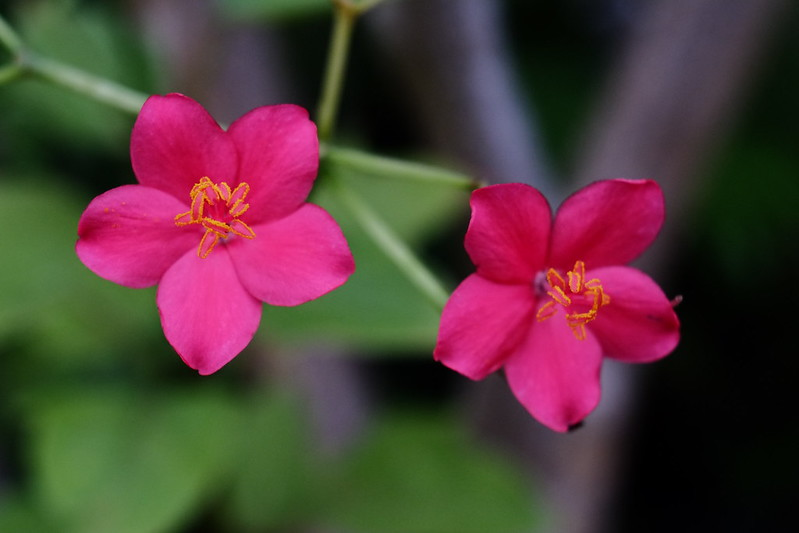 南洋桜 Jatropha integerrima