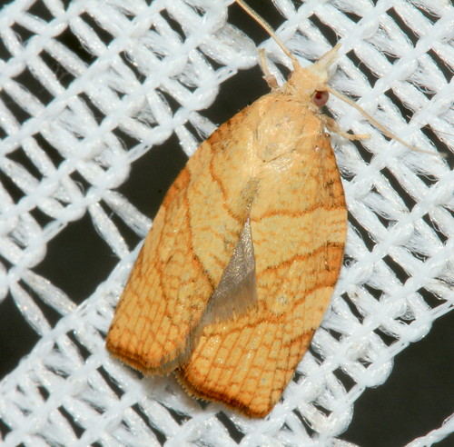 Checquerred Fruit Tree Tortrix 2420