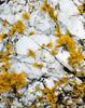 Yellow Lichen and Quartz **