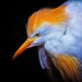 Cattle Egret Electrified by David Gn Photography