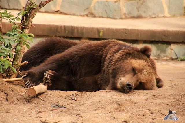 Eisbär Fiete im Zoo Rostock 06.09.2015  01
