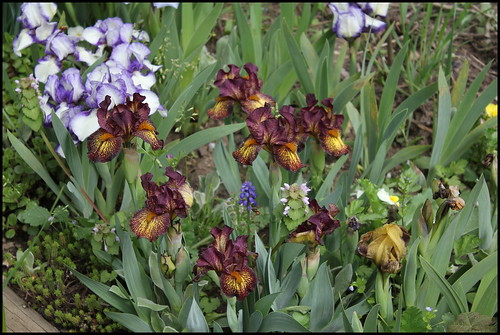 Iris Firestorm (3)
