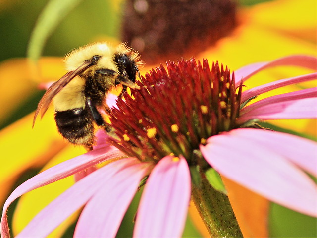 Bumblebee on coneflower 2-20150906