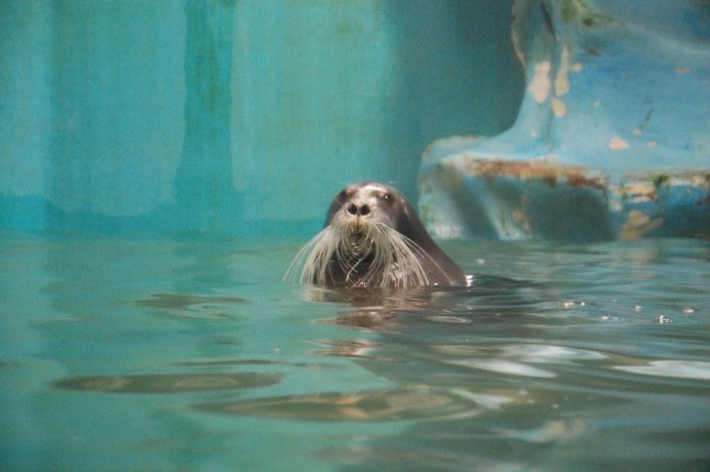 foca bigotuda ártica