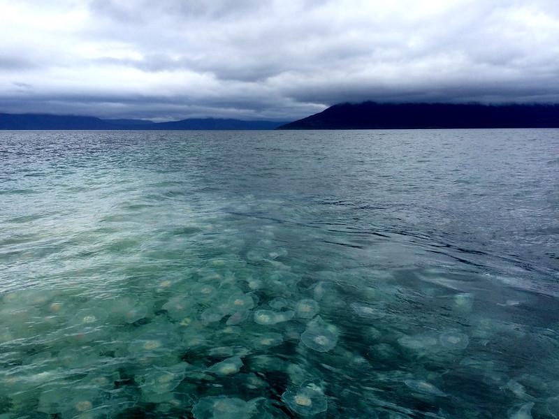 Alaska Jellyfish