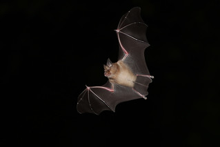 20150918 (1)_Greater_Horseshoe_Bat