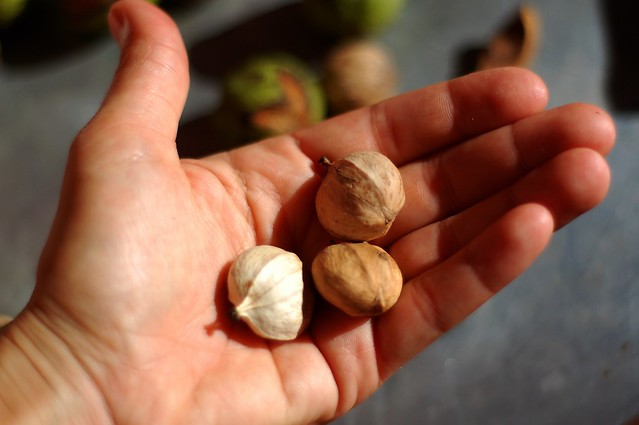 Shagbark hickory nuts by Eve Fox, the Garden of Eating, copyright 2015