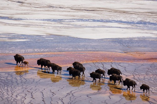 yellowstone grand prismatic bison