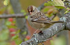 imm. white-crowned sparrow